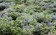 arctic lupinus in bloom (kexi) Tags: iceland europe nature flowers green blue buds arctic lupinus arcticlupinus wild north plenty canon may 2016 spring instantfave wallpaper