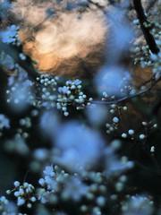 prunus spinosa in evening light   II (pancolar user) Tags: weiss white prunus spinosa pancolar 14 50mm schlehe blackthorn