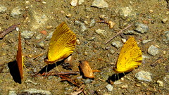Borboletas (Antonio_Dourado) Tags: digital canon canonsx50hs canonpowershotsx50hs canonsx50 canonpowershotsx50 canonpowershot butterfly borboleta lumiar novafriburgo riodejaneiro brasil brazil