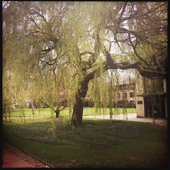 Willow at St Anne's College (breakbeat) Tags: hipstamatic tree garden weepingwillow green stannescollege oxford grounds tour hipstamaticapp janedc city travel iphone university college