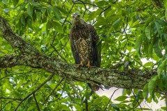Subadult Bald Eagle in HDR (shrinksteve) Tags: nature birds animals wildlife wv eagles hdr raptors photomatix beechfork taxonomy:binomial=haliaeetusleucocephalus pentaxk5iis