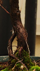 tree (Laura Sorrells) Tags: wood tree earthy bonsai february 2013 monasteryoftheholyspirit contemplativecallretreat
