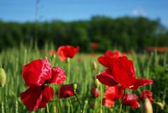 Papaveri - Poppies (Mr. Jovaninho) Tags: flower field corn poppy campo fiore grano papavero navigliogrande turbigo robecco motografia robecchetto motografo