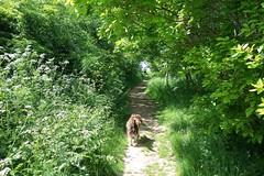 Benjy (billnbenj) Tags: trees dog cumbria spaniel springerspaniel barrow benjy