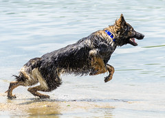 Kastle Swims 2013-06-07-3 (falon_167) Tags: dog shepherd german gsd germanshepherddog kastle