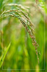 IMG_9424_Rice (Tuan Ru) Tags: canon rice mark 100mm 135mm 70200mm la 2470mm markiii 14mm canon1d 1dmarkiii ru tuanrau