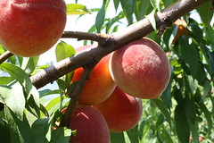 Peach (Jackson's Orchard) Tags: kentucky orchard bowlinggreen jacksons bowlinggreenky jacksonsorchard