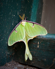 Luna (Timofey Gavrilov) Tags: old green abandoned window nature glass animals moth insects bugs lunamoth