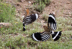 Hoopoe - the battle continued.....