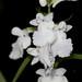 Orchis graminifolia – Merle Robboy