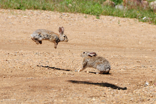 Photo - Rabbits fighting or playing at Joder Ranch Open Space.