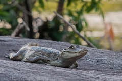 Spectacled caiman (Andrew Snyder Photography) Tags: rainforest guyana research jungle caiman biodiversity caimancrocodilus spectacledcaiman conservationphotography andrewmsnyder andrewmsnyderphotography