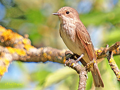 Papamoscas gris (Muscicapa striata) (eb3alfmiguel) Tags: aves papamoscas gris insectívoros pájaros