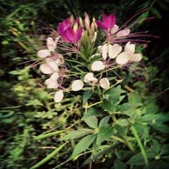 flor (LauraSorrells) Tags: blur flower jasper bokeh summertime