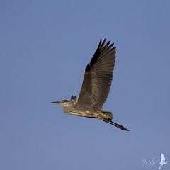 Cenerino in volo (_milo_) Tags: italy bird canon eos italia ardeacinerea tamron oiseau uccello birdwatcher oasi 70300 angera 60d aironecenerino bruschera