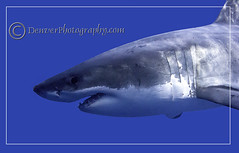 Holtby 3 (michaelholtby) Tags: scuba sharks guadalupeisland greatwhites