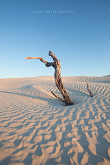 Sand Dunes (john white photos) Tags: morning tree dead sand dune australia ripples southaustralia streakybay eyrepeninsula