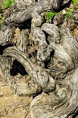 Very Old Vine (Jocey K) Tags: old vine southaustralia barossavalley austraila tanuda langmeilwinery