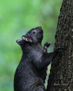 Écureuil de Maizeret