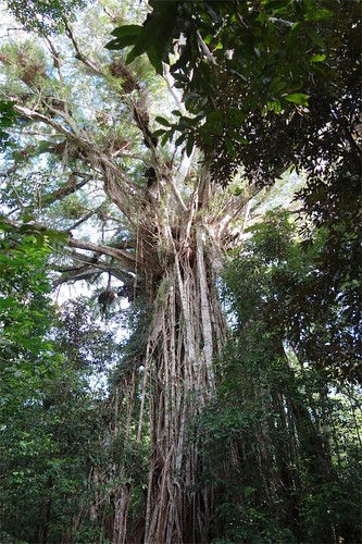 Lake Tinaroo - Cathedral Fig Tree