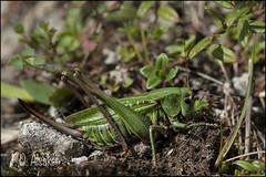 _FD13216 Camouflage (fd_alsaker) Tags: cricket ruby3