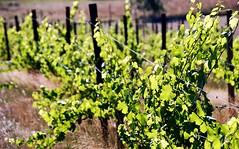 Heidi and Mark's Wedding Rehearsal (pete4ducks) Tags: wedding summer green oregon vineyard vines eugene grapes cropped avairy 2013 silvanridgevineyards