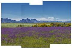 veld and hawekwa mountains near voëlvlei dam 2013 (francois f swanepoel) Tags: yellow purple veld westerncape voelvleidam hawekwa