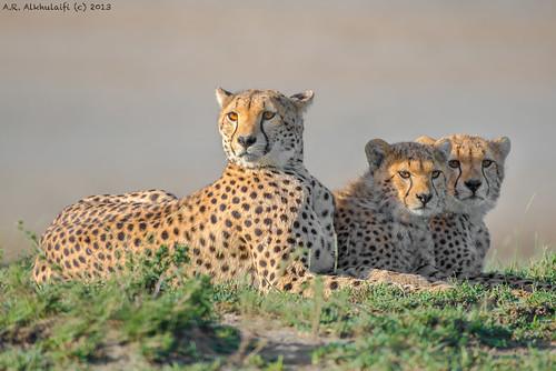 Cheetah family . . . عائلة الفهد الصياد