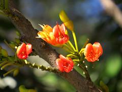 Castanospermum australe (Maria*_*) Tags: castanospermumaustrale