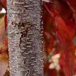 Wild Black Cherry thumbnail