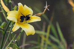 Mamangava (Fabiano Banin) Tags: flores flower nature natureza bumblebee mamangava