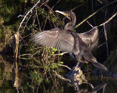 Cormorant (klovibond) Tags: bird nature wildlife cormorant bosherston