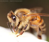 a BeeBee (ZiZLoSs) Tags: macro closeup canon photography bee explore popular 65mm zizloss