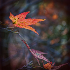 Leaf-Light (pollylew) Tags: autumn light leaf lowlight bokeh mapleleaf vignette