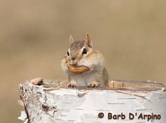 Happy Thanksgiving to all of my friends south of the border (Barb D'Arpino Photography) Tags: ontario canada cute nature outdoors spring sweet wildlife chipmunk northamerica wildlifephotographer wasagabeach tamiasstriatus easternchipmunk naturephotographer eleanorthechipmunk naturethroughmyeyescom barbaralynne canon1dx adorablechipmunk copyrightbarbdarpino barbaralynnedarpino eleanor2013