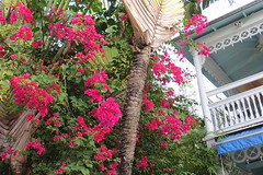 Key West (Florida) Trip, November 2013 7855b 4x6 (edgarandron - Busy!) Tags: flowers plants flower keys florida bougainvillea keywest floridakeys