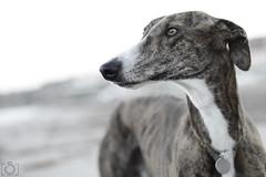 Gor (Sento MM) Tags: playa perro alicante sanjuan gor galgo