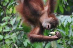 forest sepilok wildmonkey sandakan malaysianborneo eastmalaysia sepilokorangutanrehabilitationcentre sepilokorangutansanctuary orangutanpongo pusatpemulihanorangutan feedingplatform uncletanswildlifeadventures sabahwildlife pygmaeusorang elopur simianprimateapebornean utanman