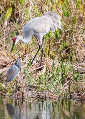 Sandhill Crane and Small Blue Heron (DonMiller_ToGo) Tags: venice nature birds wildlife telephoto waterbirds onawalk gf1 views100