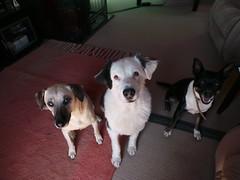 Punchkin, Shepo & Bridget (Rayya The Vet) Tags: dog vet canine australianshepherd twitter whippetcross vetpet dingocross