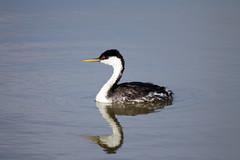 Searching For Visine (When lost in.....) Tags: bird utah flight save refuge bearriver bearrivermigratorybirdrefuge northcentralutah placesnearthegreatsaltlake
