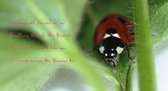 Peek-A-Boo (Glenda Hall) Tags: macro cute nature face leaves closeup canon bug garden insect miniature leaf spring stem poem peekaboo text details flash mini spots tiny april ladybird ladybug northernireland spotted dslr tamron 90mm stalk glenda tyrone 2014 blackspots castlecaulfield countytyrone canontamron tamronmacrolens canoneos60d glendahall