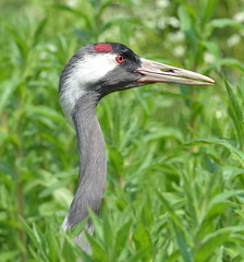 DSC_4239 Crane! (jefflack Wildlife&Nature) Tags: crane avian waders avianexcellence ngc npc nature waterbirds wildlife slimbridge birds wildbirds