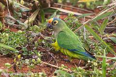 Peach-fronted Parakeet, periquito-rei (eisenrupp) Tags: minas gerais birding aves da brazilian cerrado serra canastra merganser patomergulhão