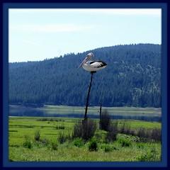 delicate balance (Gillian Everett) Tags: landscape nest pelican duc imageart 891