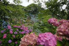 20150704-DS7_5719.jpg (d3_plus) Tags: street sea sky plant flower nature car rain japan garden drive nikon scenery cloudy daily telephoto rainy bloom  tele hydrangea  tamron  shizuoka    dailyphoto touring 28300mm  izu   shimoda 28300        tamron28300mm    minamiizu  tamronaf28300mmf3563     a061  nikon1 telezoomlens d700  tamronaf28300mmf3563xrdildasphericalif nikond700 a061n