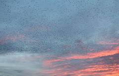 IMG_6240 (itchenbirds) Tags: starling winchester murmuration