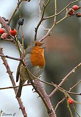 A Song for You (Eleanor (No multiple invites please)) Tags: robin roesbush hydepark london nikond7100 february2017 coth5 specanimal