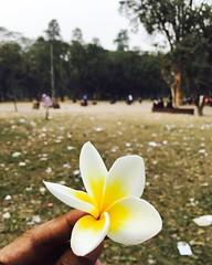Champa Phool (Plumeria) (Ahmed Pabel) Tags: champa phool plumeria flower evening suhrawardy udyan park street green tree du dhaka tsc dhakaunivarsity