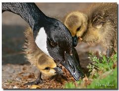 Canadian Goose & Baby goslings (Betty Vlasiu) Tags: canadian goose baby goslings branta canadensis bird nature wildlife